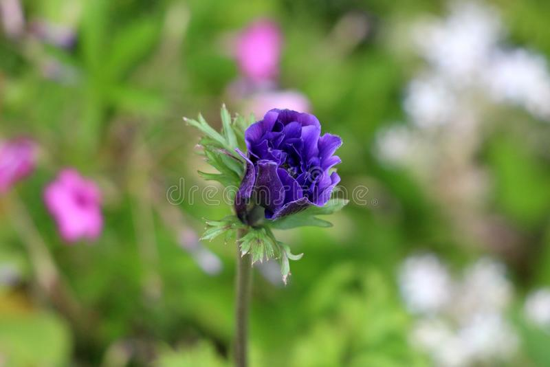 Partially open Anemone perennial plant with violet petals growing in local urban garden surrounded with other flowers. On warm sunny spring day royalty free stock images