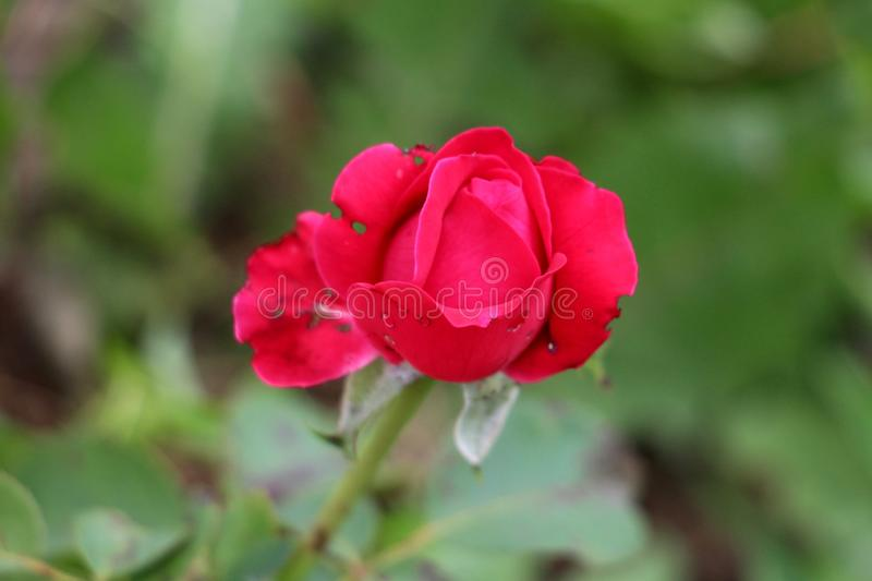 Partially open single dark red rose surrounded with green leaves in local urban garden royalty free stock photos