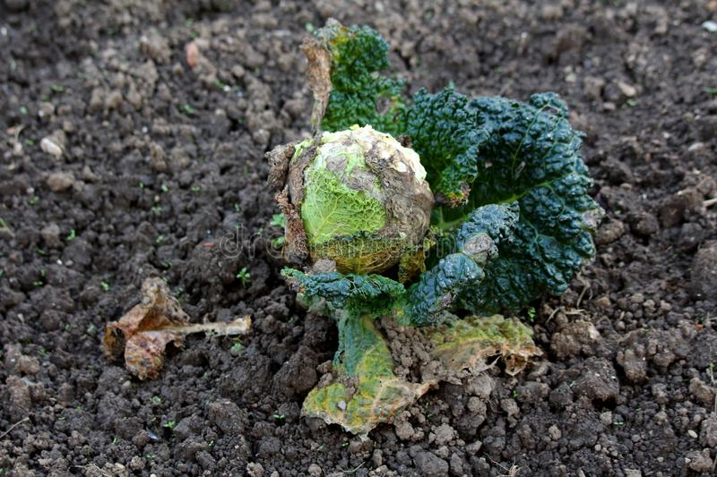 Partially shriveled and dried Kale or Leaf cabbage hardy cool season annual green vegetable plant with dark green edible leaves. Growing in local home garden royalty free stock photo