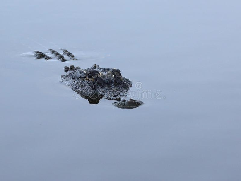 Partially submerged American Alligator. Head of a submerged American alligator at the St. Marks National Wildlife Refuge in Florida stock images