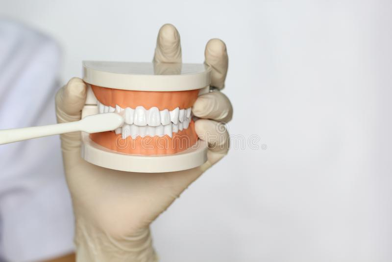 Participation de main de dentiste de modèle de mâchoire des dents et de la brosse à dents humaines sur le fond, le concept blancs images stock