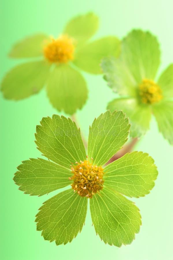 Dettaglio del fiore verde fotografie stock
