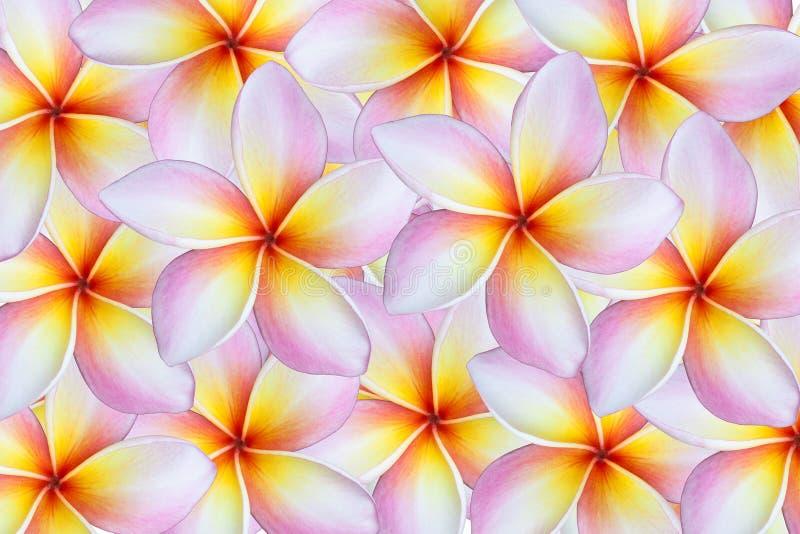 Fondo del fiore di plumeria immagini stock libere da diritti