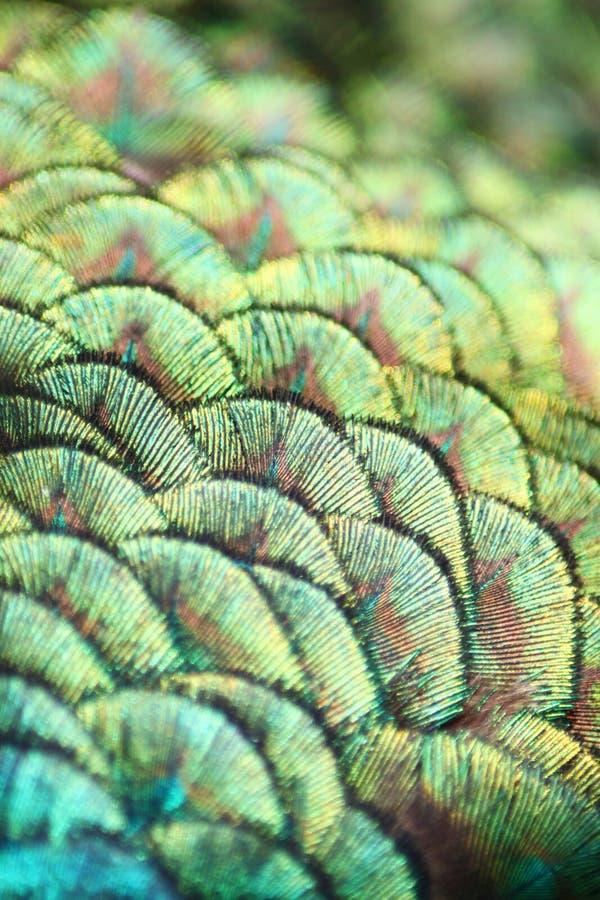 Particolare del pavone fotografia stock