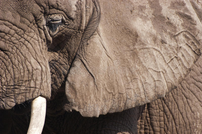 Particolare del primo piano dell'animale dell'elefante africano fotografia stock libera da diritti