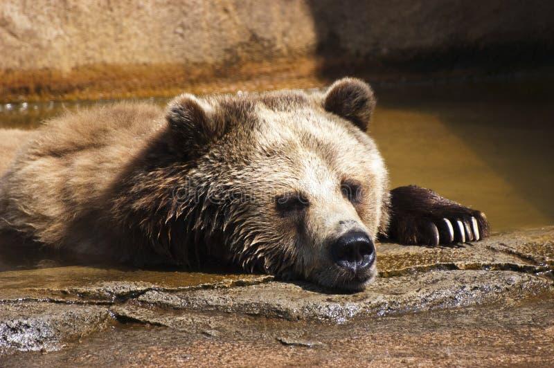 Particolare del primo piano dell'orso dell'orso grigio con le branche in acqua fotografie stock libere da diritti
