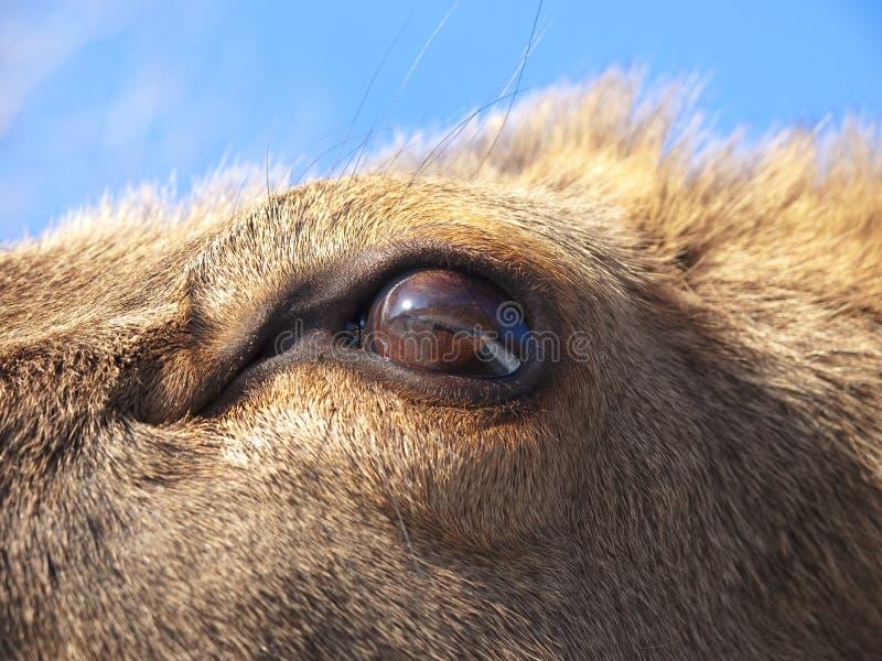 Particolare dell'occhio dei cervi rossi immagine stock libera da diritti