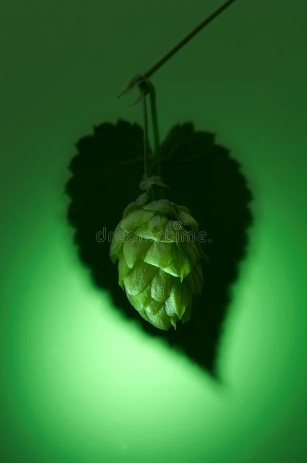 Particolare della frutta del luppolo fotografia stock