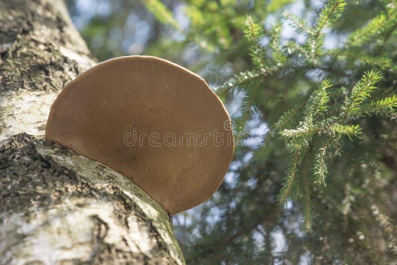 Particolare di legno del fungo fotografia stock libera da diritti
