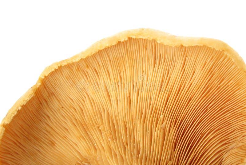 Particolare di macro delle branchie del fungo fotografia stock libera da diritti