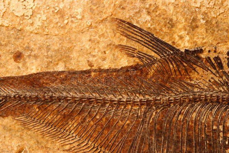 Particolare fossile dei pesci fotografia stock libera da diritti