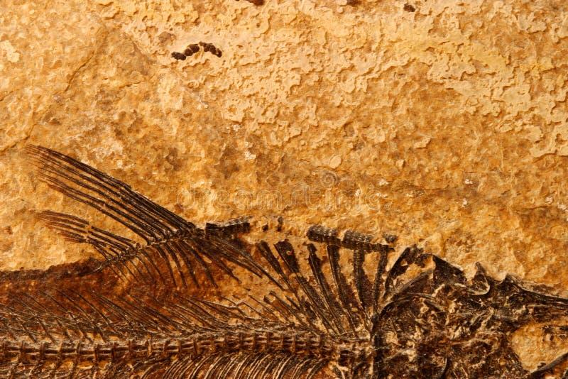 Particolare fossile dei pesci fotografia stock