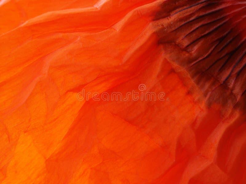 Particolare rosso #2 del foglio del papavero immagini stock