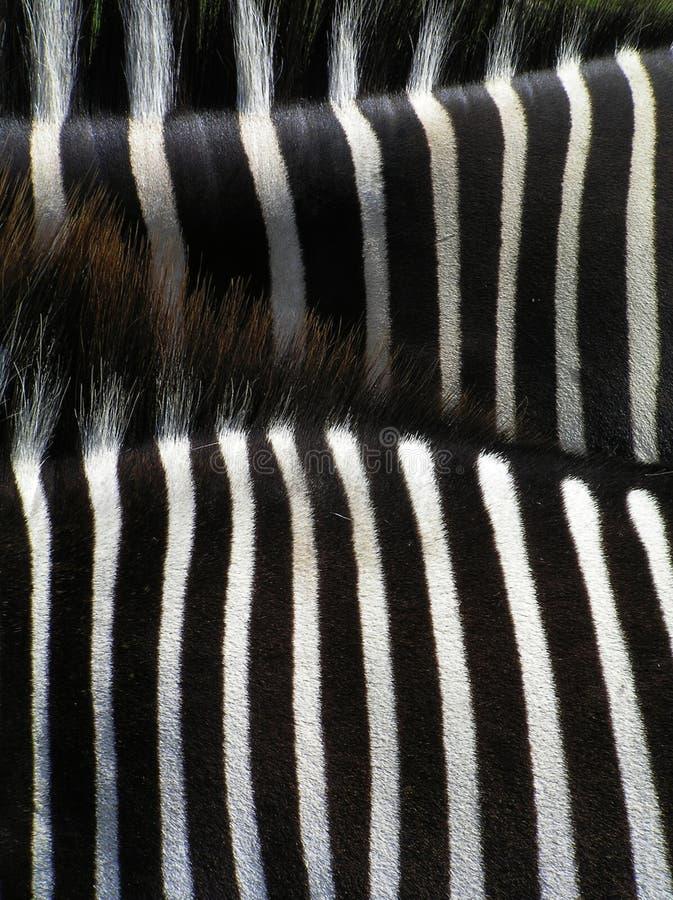 Particolari della zebra immagini stock libere da diritti