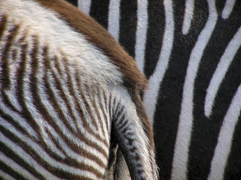 Particolari della zebra fotografie stock libere da diritti