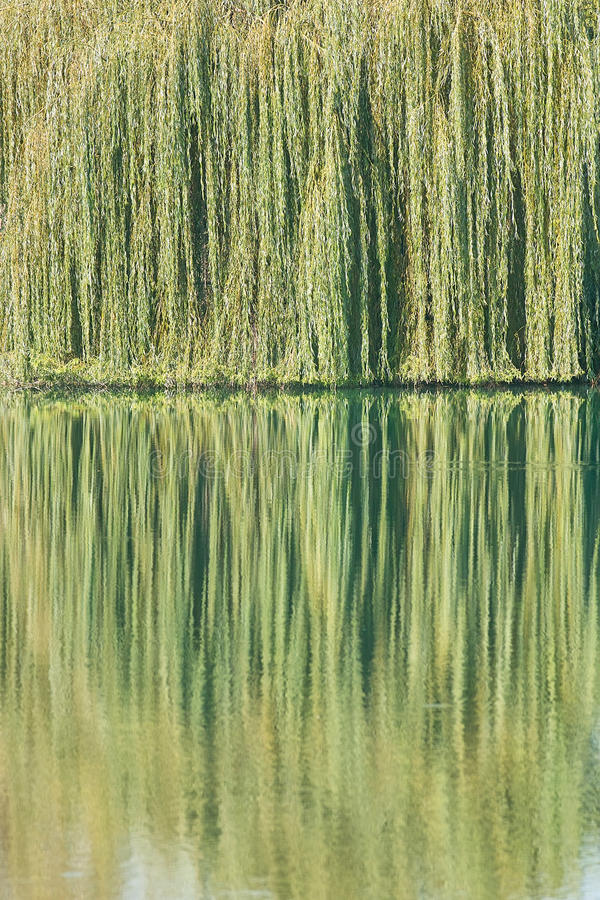Particular of a weeping willow which reflect it in stock photos