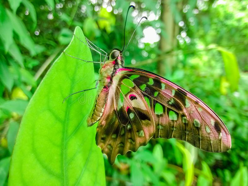 A particularly beautiful butterfly on the green leaves. Its wings are decorated with red, and some of it is still transparent, and you can see the leaves royalty free stock images