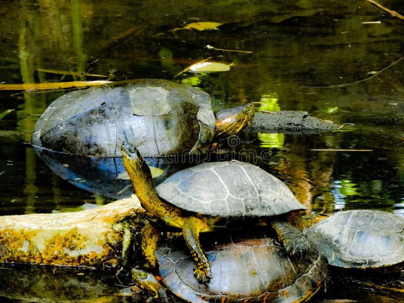 Partido da tartaruga fotografia de stock royalty free