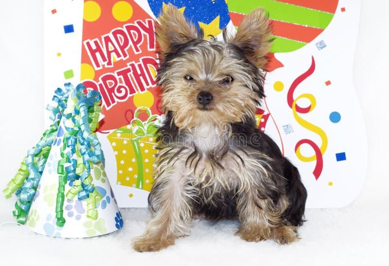 Partido del feliz cumpleaños del terrier de Yorkshire foto de archivo libre de regalías