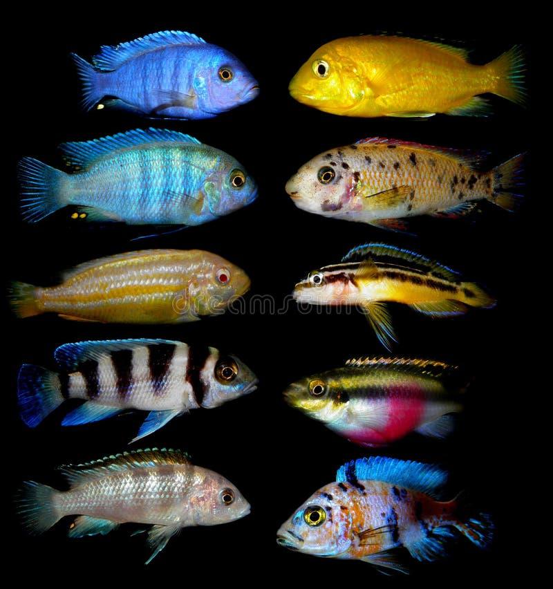 Partij van aquariumvissen van cichlidaefamilie stock fotografie