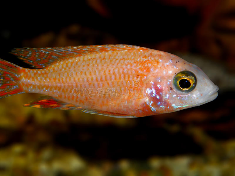 Partij van aquariumvissen van cichlidaefamilie royalty-vrije stock fotografie