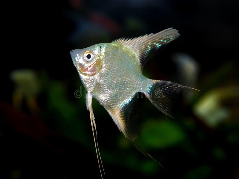 Partij van aquariumvissen van cichlidaefamilie royalty-vrije stock afbeeldingen