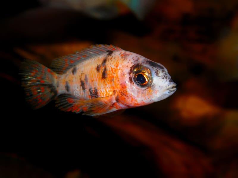 Partij van aquariumvissen van cichlidaefamilie stock afbeelding