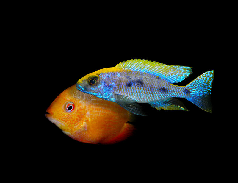 Partij van aquariumvissen van cichlidaefamilie royalty-vrije stock afbeelding