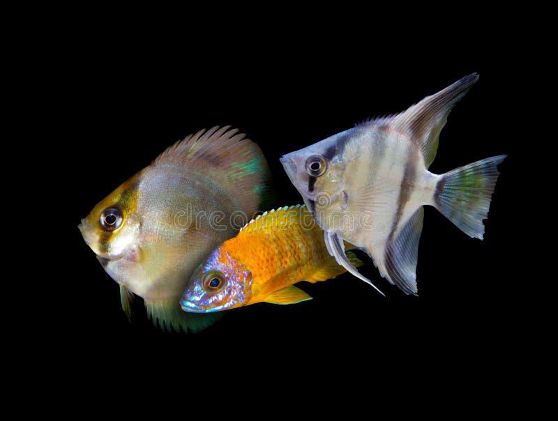 Partij van aquariumvissen van cichlidaefamilie stock afbeeldingen