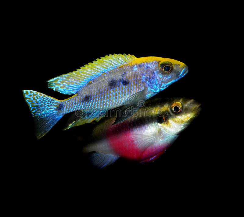 Partij van aquariumvissen van cichlidaefamilie royalty-vrije stock foto