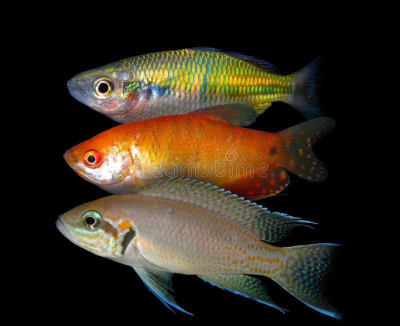 Partij van aquariumvissen van cichlidaefamilie royalty-vrije stock foto's