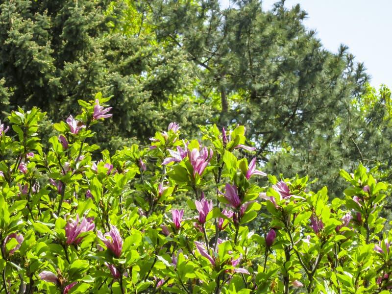 Partij van grote roze bloemen en knoppenliliiflora x van Magnoliasusan magnolia Magnoliastellata met jonge groene bladeren op vaa stock foto
