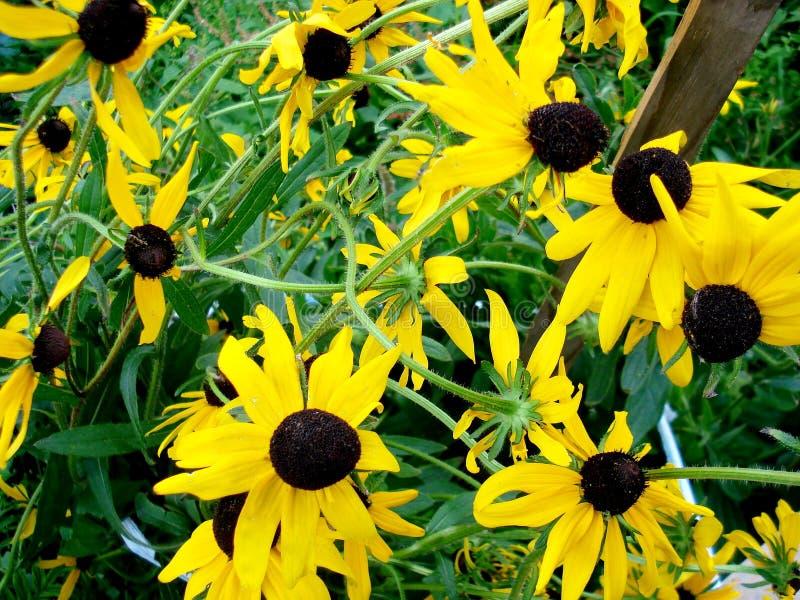 Partij van het kweken van gele Echinacea-bloemzon stock fotografie