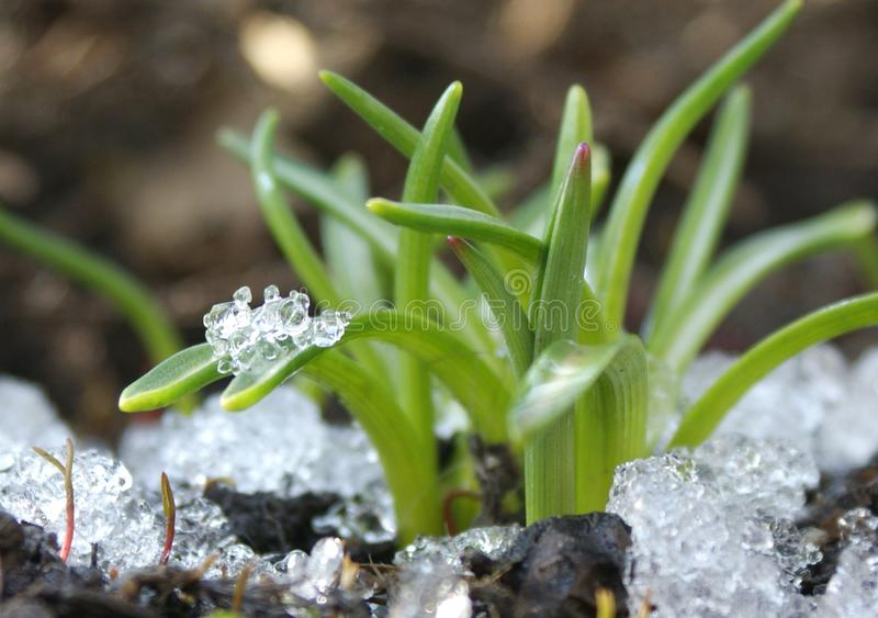 At parting winter adorns the awakened plants with clean diamonds of ice. stock photos