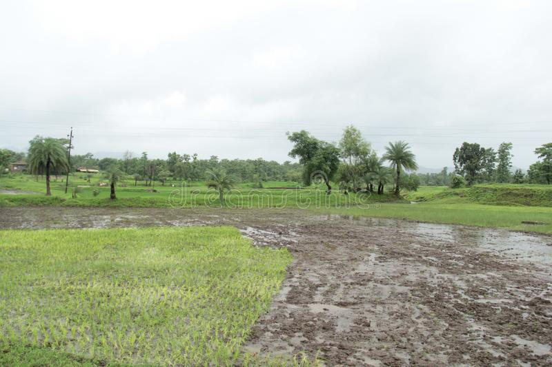 Paddy rice field during rains. A partly sown rice field with seeding done on half image. half image is sludge of soil and water stock photos