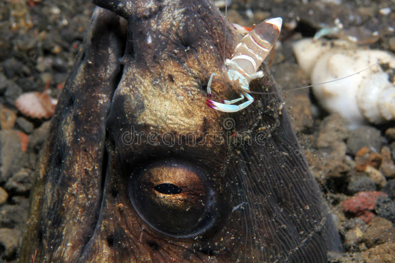 Partner Shrimp on the Head of a Snake Eel. Magnificent Partner Shrimp (Periclimenes Magnificus) on the Head of a Black-finned Snake Eel (Ophichtus Melanochir) royalty free stock images