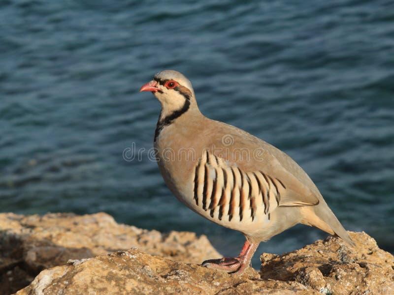 Bird partridge hen Alectoris chukar stock photos