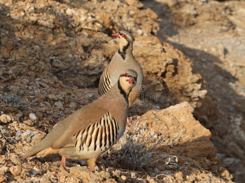 Bird partridge hen Alectoris chukar stock photo