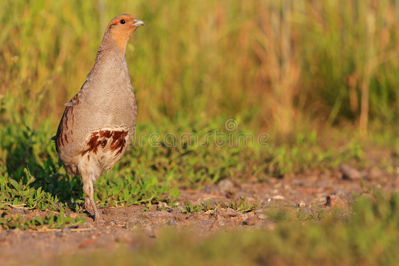 Partridge hunting trophy goes on the trail. Wildlife royalty free stock photos