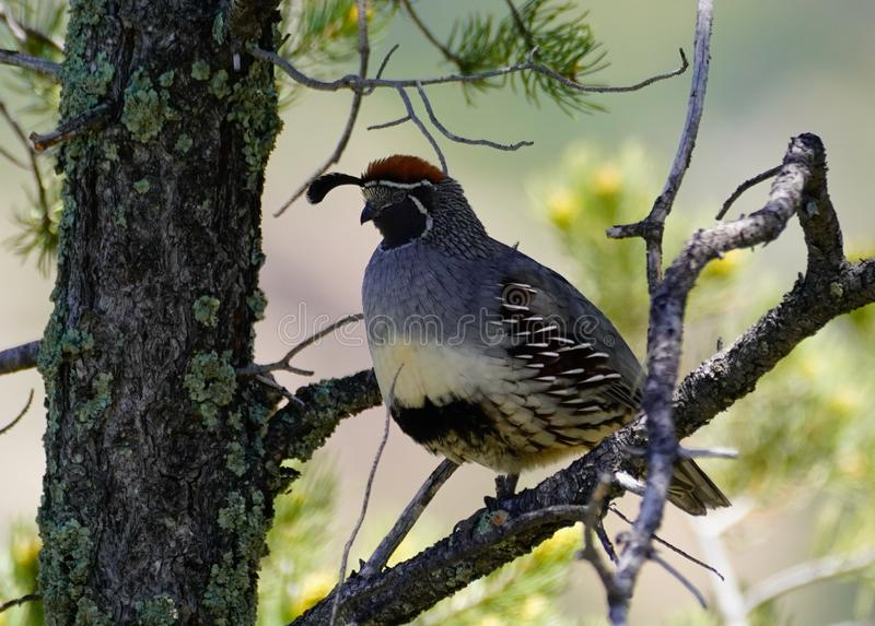 And a Partridge in a Pear Tree. Sorry, not really a Partridge, but a Quail sits high in a large pine tree stock photography