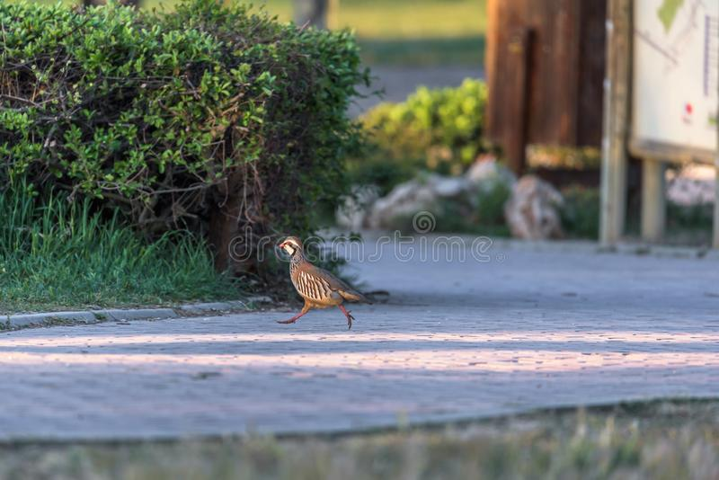 Partridge. A partridge running in a park stock image