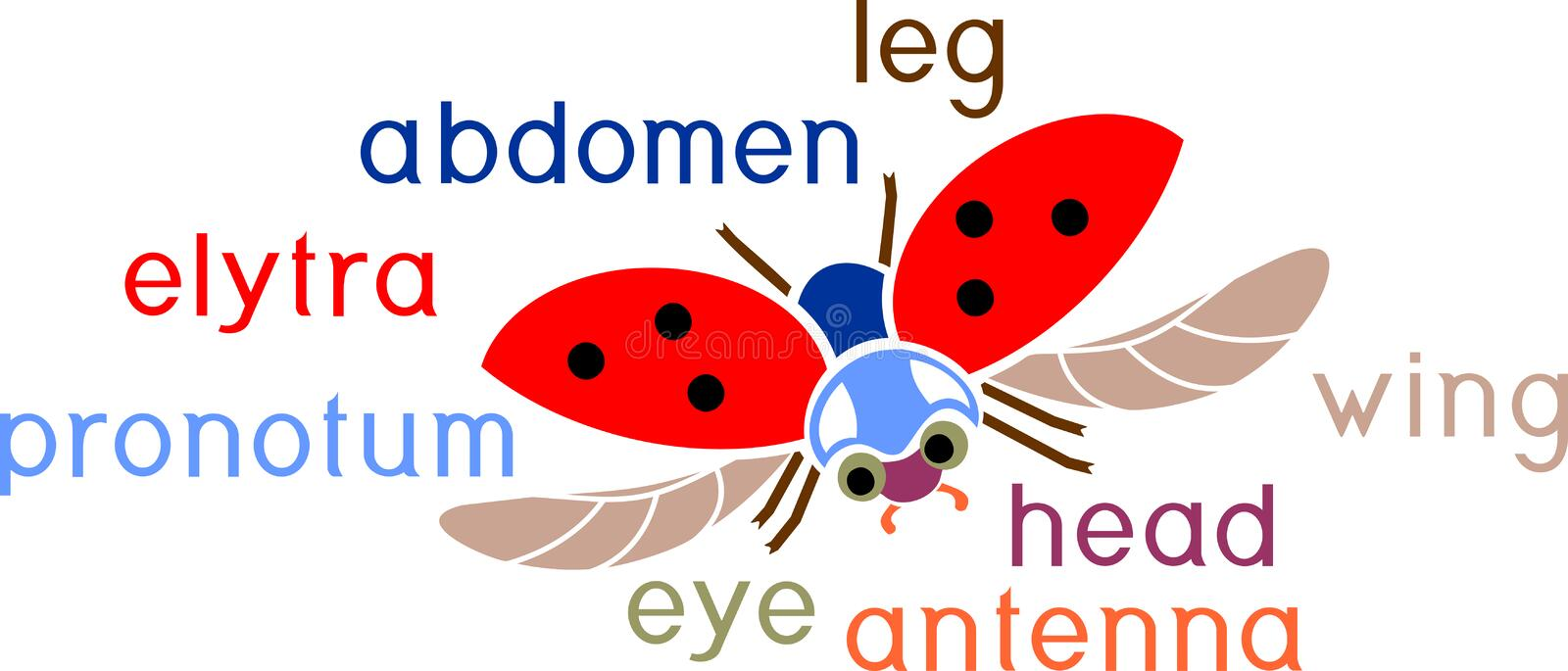 Parts of body of flying ladybug with titles. External structure of insect. Parts of body of flying ladybug with english titles. External structure of insect stock illustration
