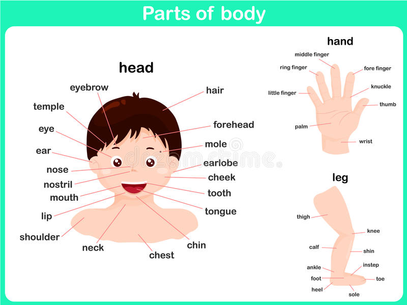 Parts of body. Parts of head, hand and leg for student
