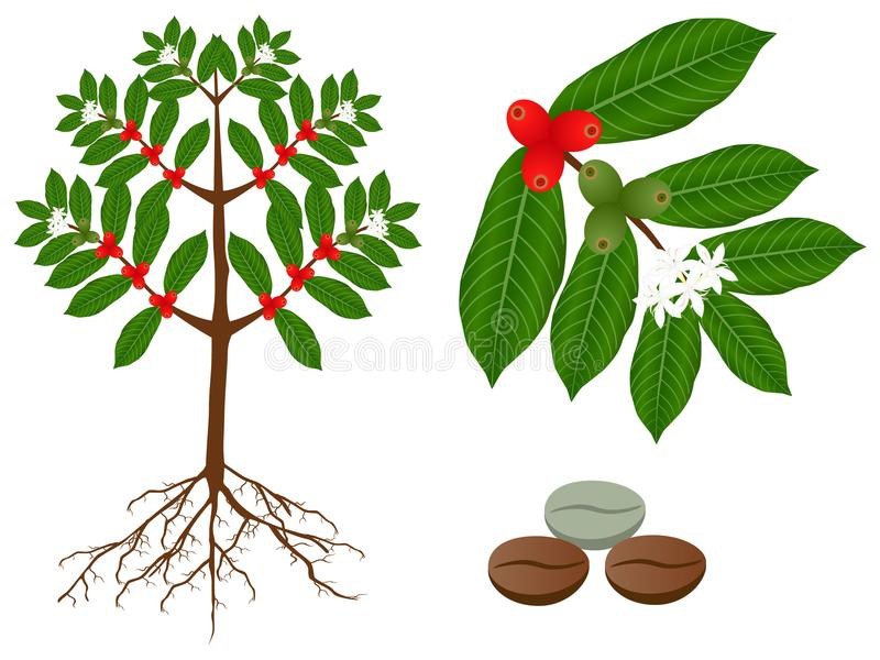 A parts of coffee plant on a white background. stock illustration