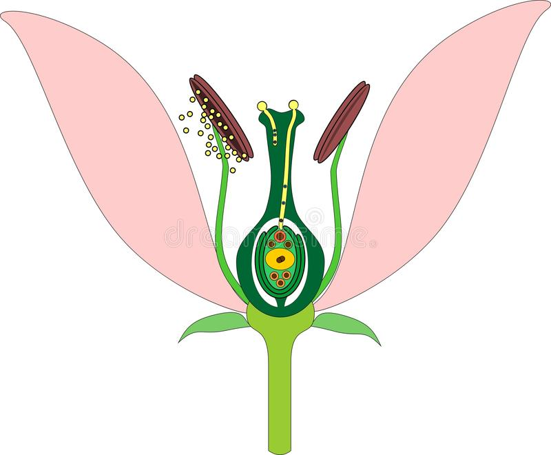 Parts of flower and double fertilization vector illustration