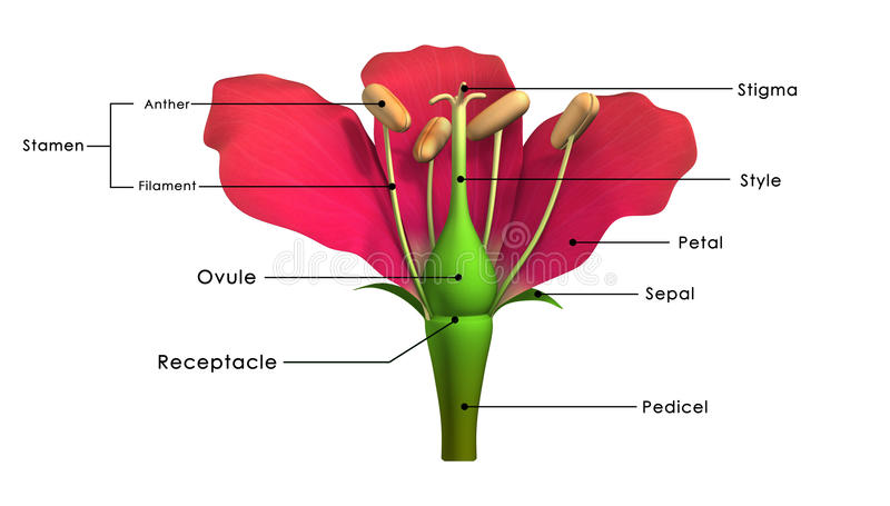 Parts of a flower. Peduncle: The stalk of a flower. Receptacle: The part of a flower stalk where the parts of the flower are attached. Sepal: The outer parts of vector illustration