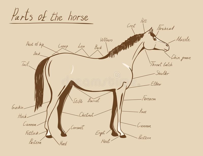 Horse Anatomy Worksheet - Kidz Activities