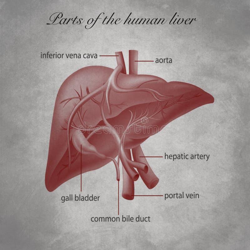 Parts of the human liver stock illustration. Illustration ...