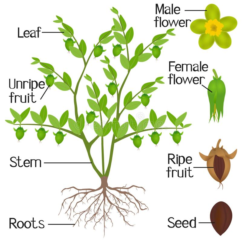 Parts of jojoba plant on a white background. royalty free illustration