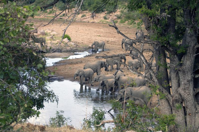 Party of african elephants gathering royalty free stock images